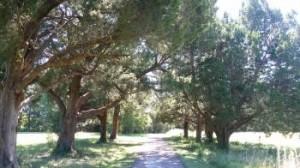 pinckney cypress